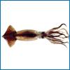 calamar-f